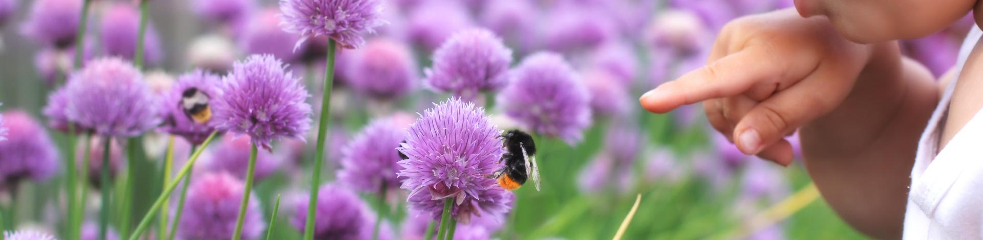 Child pointing to a bee on a chive flower among field of purple flowers