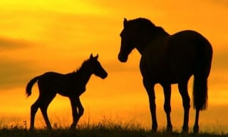 Horse Silhouette Photograph