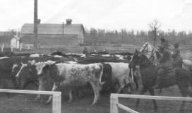 History of Animals in Okotoks